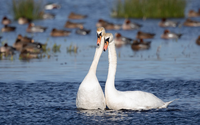 Mute swans at Catcott Lows