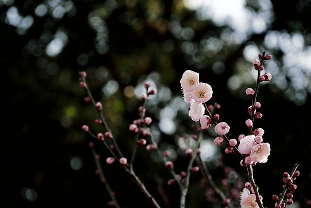 Japanese apricot bloosom