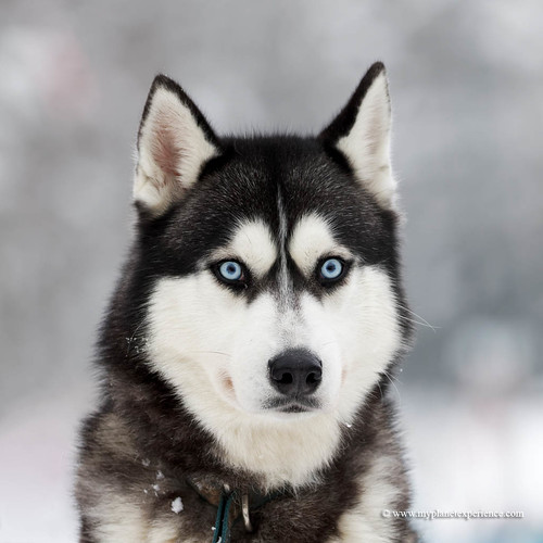 Siberian Husky | by My Planet Experience