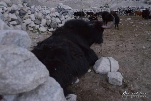 Yak au crépuscule dans le paturage d'Yishkok, vallée de Chapursan | by Photos de voyages, d'expéditions et de reportages