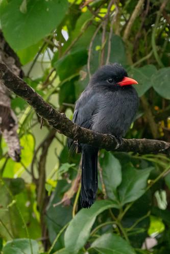 DSC_1836 Black-fronted nunbird