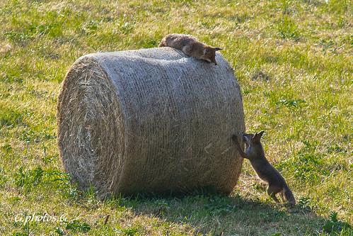 Jeux de renards.