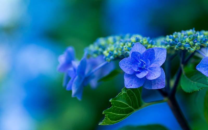 Обои голубая, гортензия, соцветие картинки на рабочий стол, раздел цветы - скачать