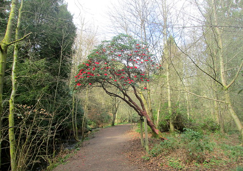Rhododendron, Balbirnie, Fife