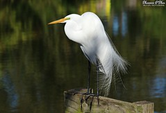 The Egret, my friend, is blowin' in the wind
