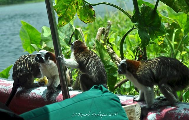 Geoffroy's Tamarin Monkeys