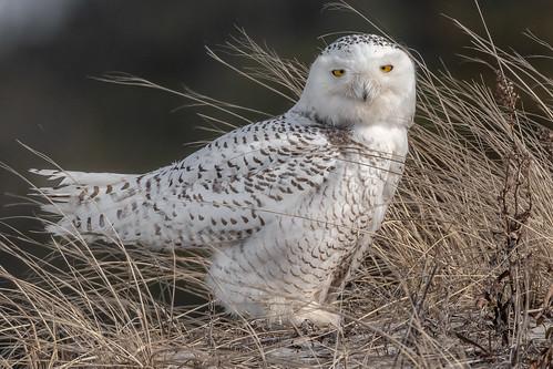 snowyowl owl raptor islandbeachstatepark newjersey ibsp bird birding birdwatching birds birdofprey nature nikond500 nikon sigma150600sport sigma