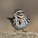 Song Sparrow - Melospiza melodia by Jean-François Hic