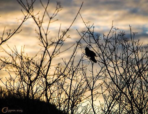 Blackbird Greets the Sunrise
