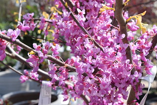 Redbud 'Rising Sun' | by SouthwoodTulsaOK