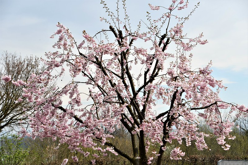 Japanese Cherry Tree 06.04 (2)