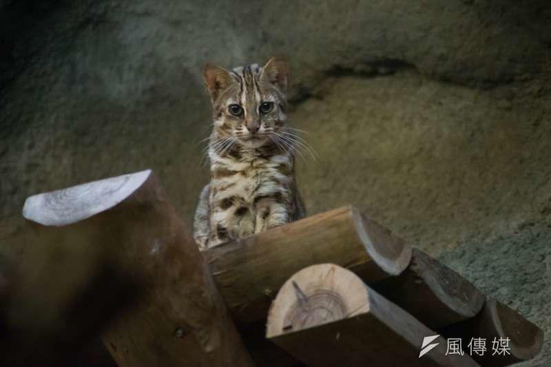 瀕臨絕種的石虎,目前只在苗栗、台中及南投3縣市有完整族群分布,其中苗栗就佔重要棲地總面積的近3分之1,但這些適合石虎棲居之處,卻被各種開發案進逼。圖為台北市立動物園中的石虎。(甘岱民攝)