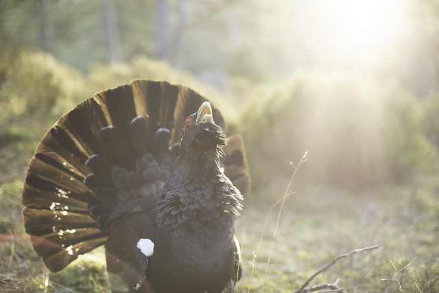 Male Capercaillie in the morning sunshine Explored 12/01/19