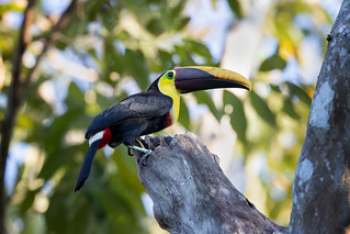 Black-mandibled toucan   by Rob & Amy Lavoie