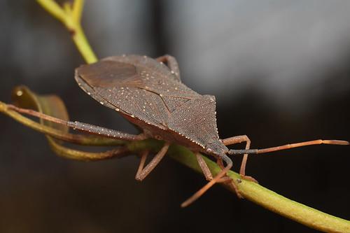 Eucalytpus Tip Wilter bug - Amorbus sp