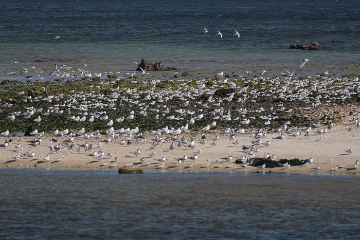 Island of Gulls and terns
