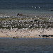 Island of Gulls and terns