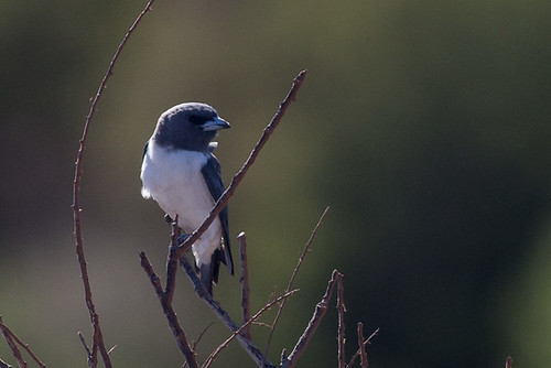 White-breasted Woodswallow | by steve happ