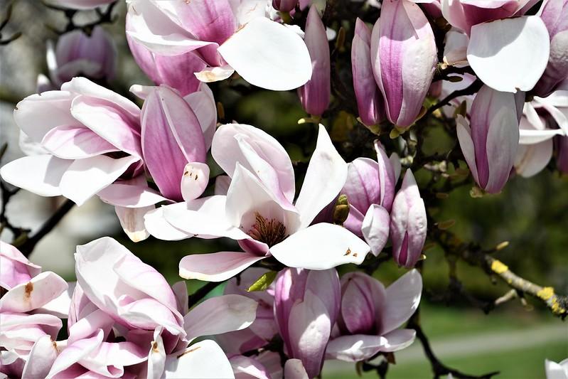 Magnolia 06.04 (2)