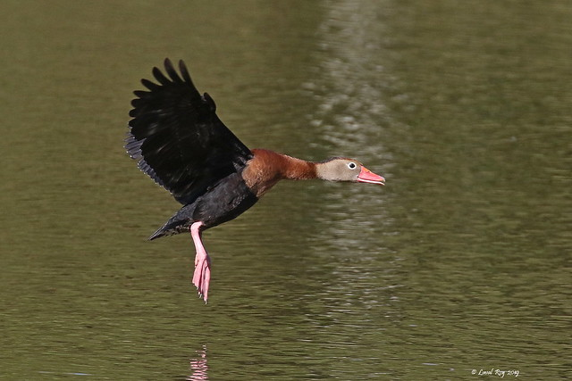 1.00213 Dendrocygne à ventre noir / Dendrocygna autumnalis autumnalis / Black-bellied Whistling-Duck