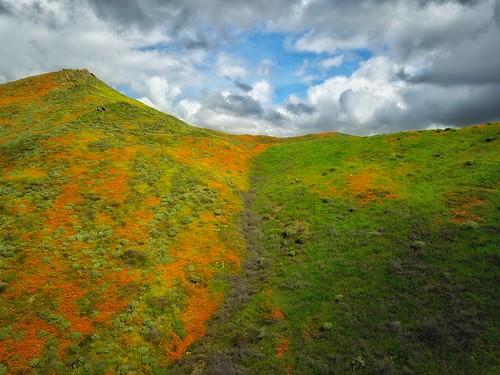wildflowers springtime poppies southerncalifornia california