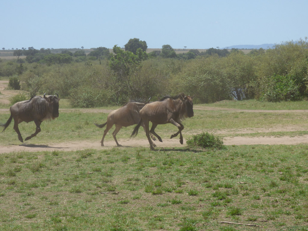 Blue wildebeest migration, Masai Mara
