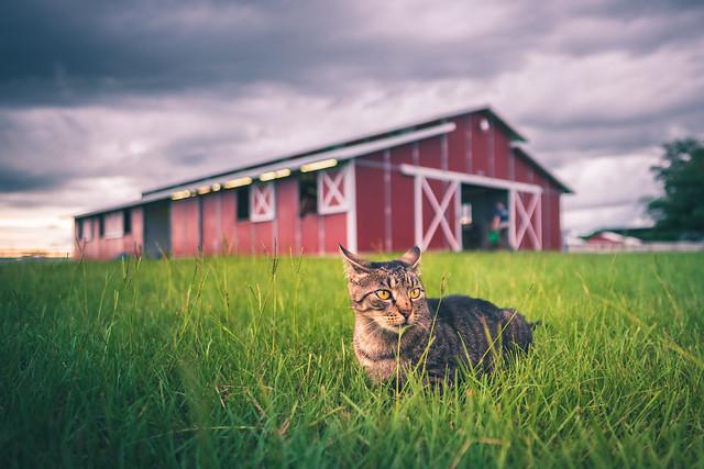 Barn cat, Katy, TX