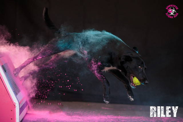 Holi Flyball Riley