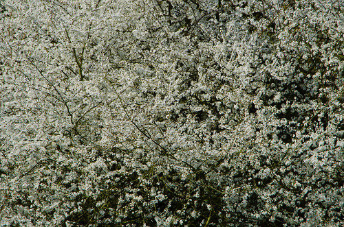 Blackthorn over the Penk, flowers opening