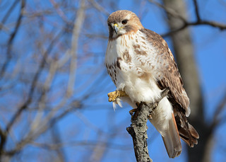 Red-tailed Hawk | by JDA-Wildlife