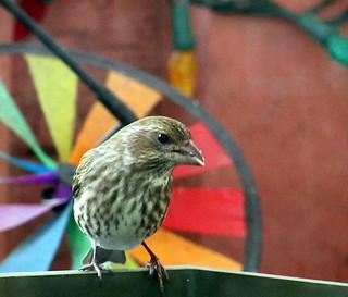 A female purple finch.   by mcrosbie1