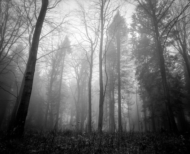 Combe Hill Woods in the fog #2