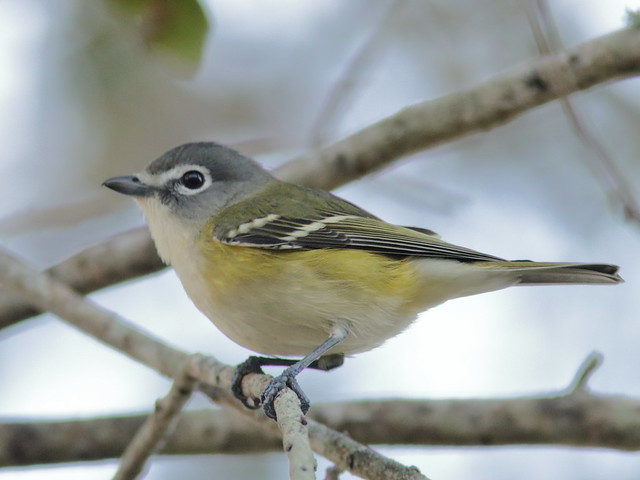 Blue-headed Vireo 04-20181225