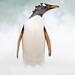 Gentoopinguïn / Gentoo penguin / Manchot papou by Gladys Klip