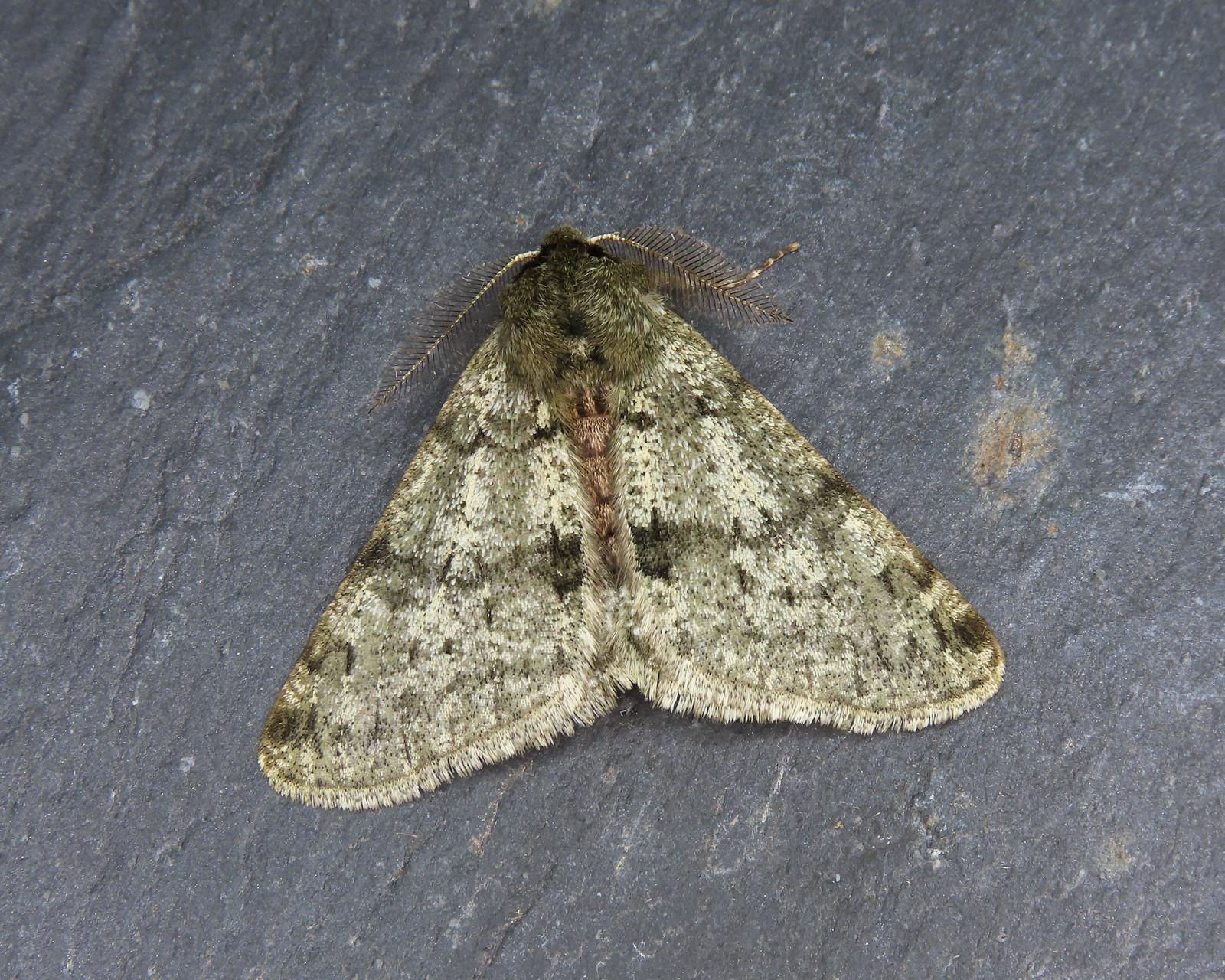 70.247 Pale Brindled Beauty - Phigalia pilosaria
