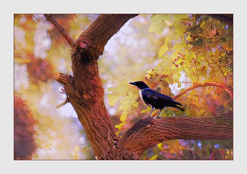 crow bird tree garden botanicgarden vintage vividcolors textures poetry sunset gold blackbird light exhibitionoftalent kurtpeiser