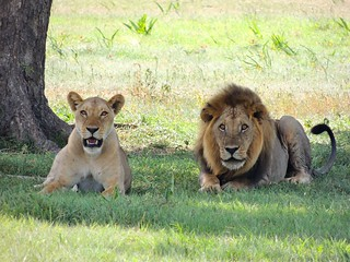 Lions | by Paradise & Wilderness