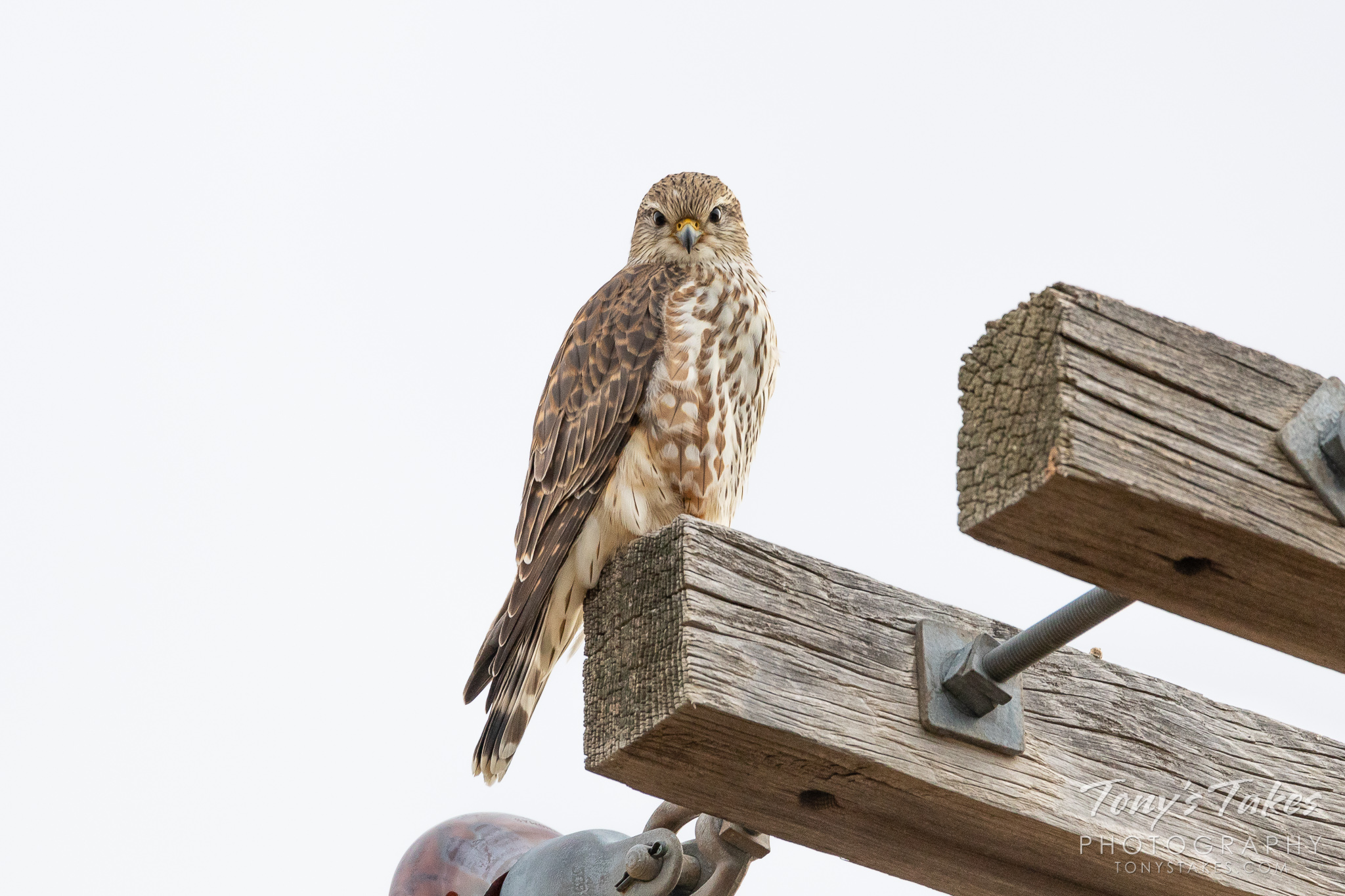 Stare down with a prairie merlin. I haven't had much luck seeing these cool little #raptors this winter…