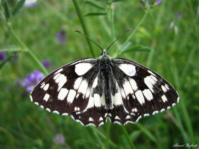 Butterfly 1768