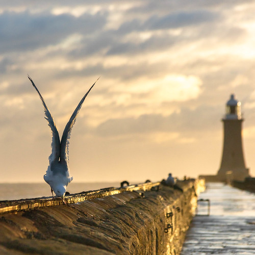 lighthouse seagull bird pier seaside coast sunrise clouds northtyneside tynemouth