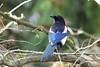 Eurasian Magpie (Pica pica), Royal Victoria Park, Bath, Somerset, United Kingdom by Daniel J. Field
