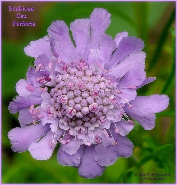 Close up of the Cheerful Field Flower: Scabiosa Cau Perfecta