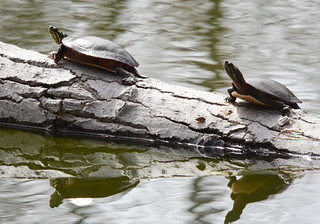 Painted Turtles, Chrysemys picta (2) | by Herman Giethoorn