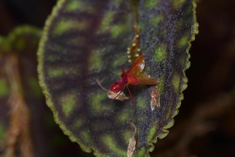 Miniatur-Orchideen Teil 5 46881354634_ae7deae762_c