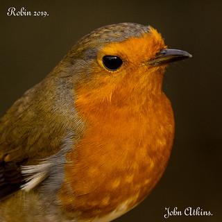 Robin portrait at Nene Park / Ferry Meadows 29/01/19.