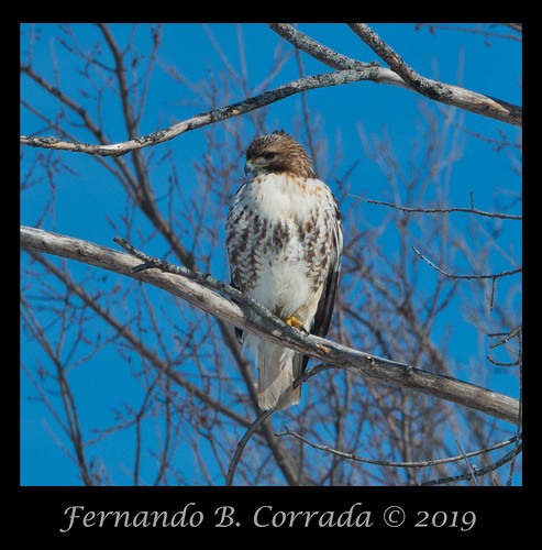 Red-tailed Hawk (7922) | by fbc57