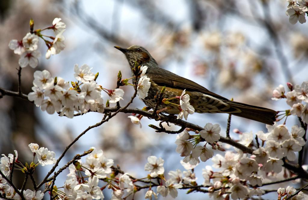 Cherry Blossom & A Bird In Saitama, Japan