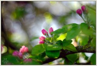 Crab Apple Blossom   by Rosedalelad