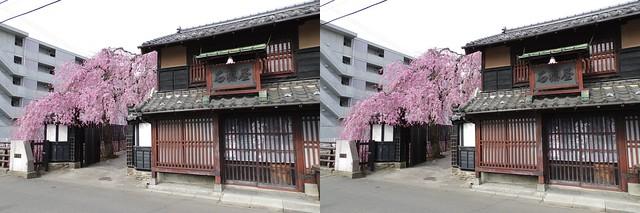 Cherry blossoms at Ishibashi-ya in Sendai, stereo parallel view