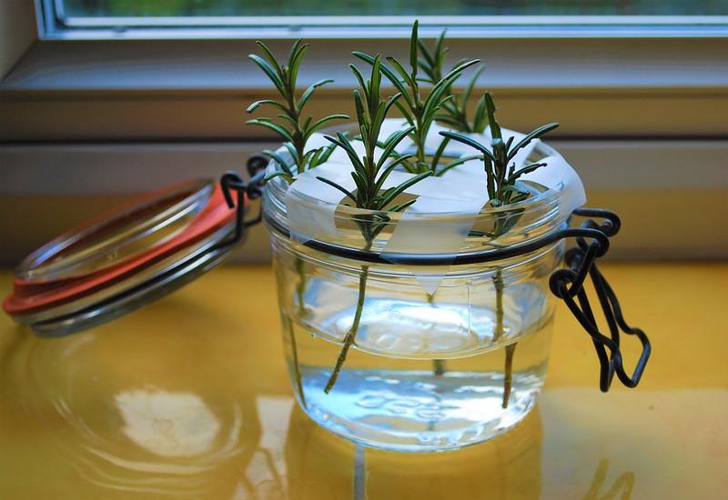 Propagating Rosemary Water